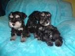Legla-štenci (Puppies)